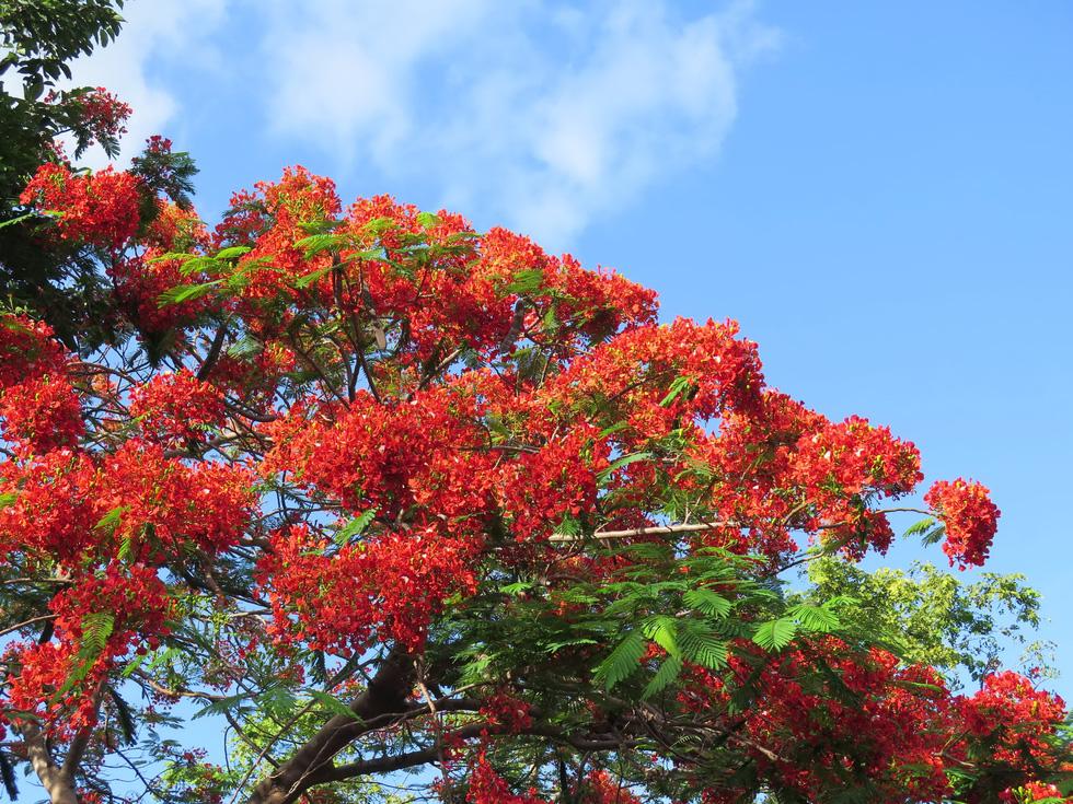 Phượng vĩ nở đỏ rực ở nghĩa trang Hàng Dương